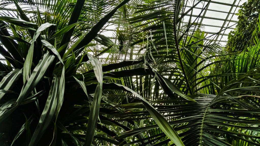 palmiarnia palmy